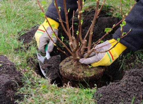 Когда лучше сажать деревья осенью. Положительные и отрицательные факторы при посадке дерева в осень