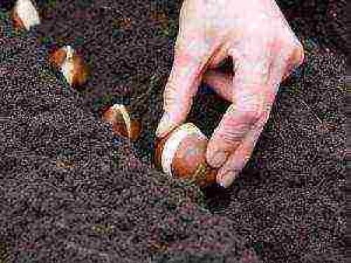 Можно ли посадить тюльпаны в горшок дома. Как посадить тюльпаны в домашних условиях?