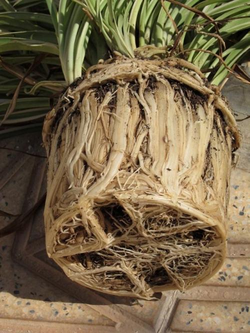 Пересадка комнатных растений. Виды срочных пересадок для комнатных растений