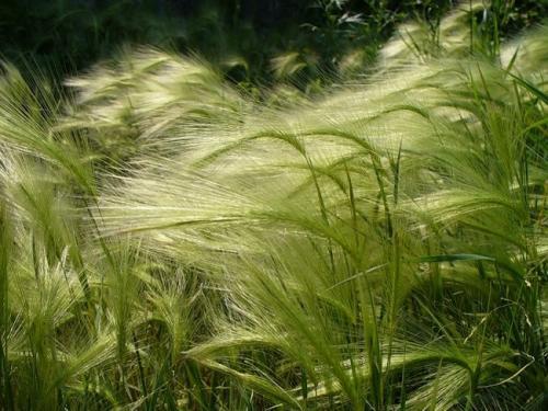 Декоративные растения для участка. Виды декоративных трав
